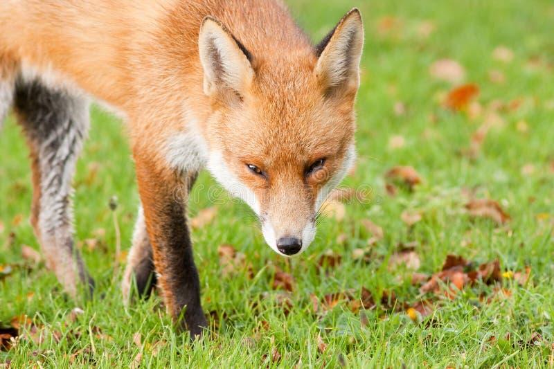 Fox vermelho que Prowling nas folhas da queda do outono fotos de stock