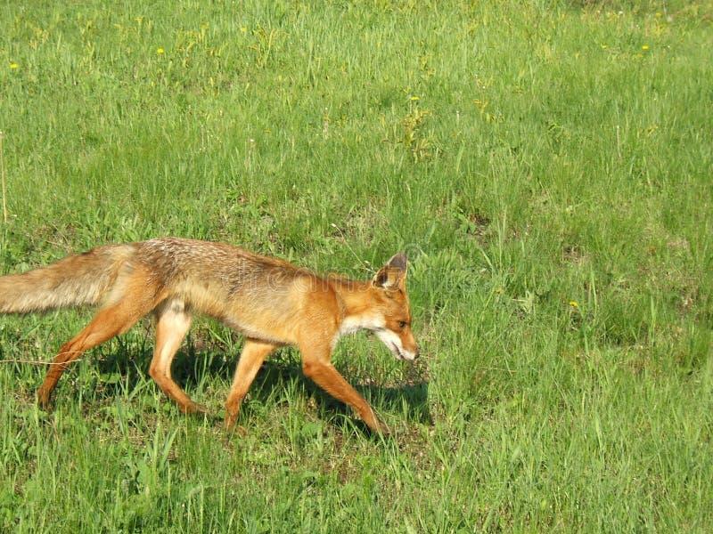 Fox vermelho Running em maio na Rússia central fotos de stock
