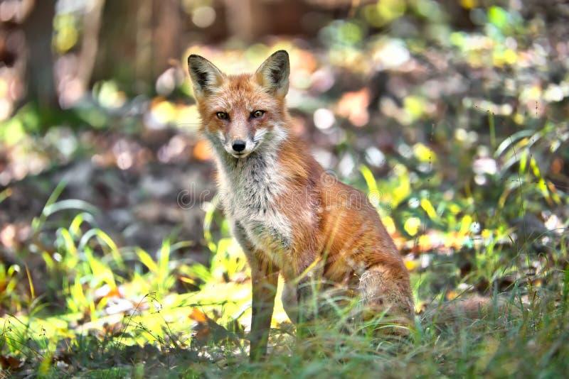 Fox vermelho selvagem que senta-se em uma floresta fotografia de stock