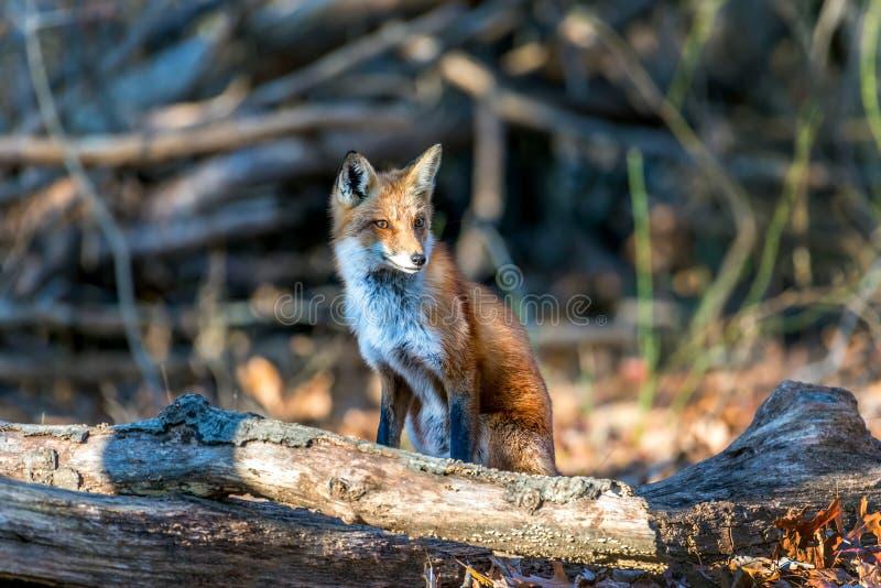 Fox vermelho selvagem que senta-se em uma floresta imagens de stock royalty free