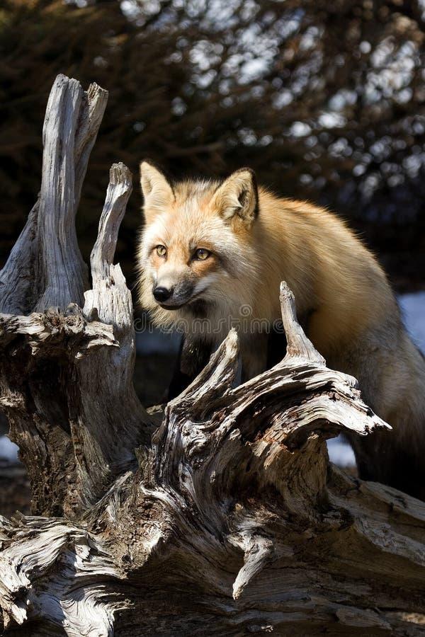 Fox vermelho V imagens de stock