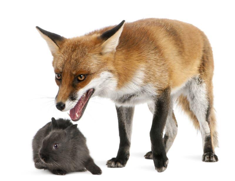 Fox vermelho, vulpes do Vulpes, 4 anos velho, jogando fotografia de stock royalty free