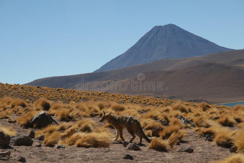 Fox and volcano near San Pedro royalty free stock photo