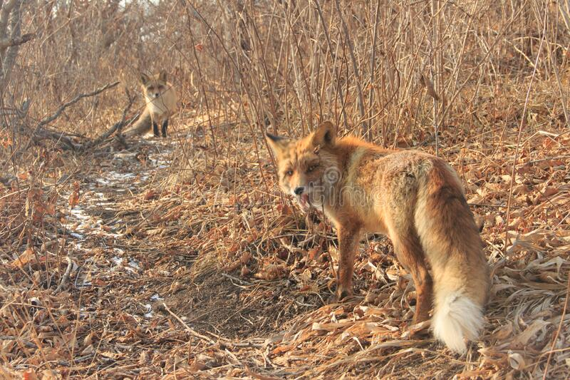 The fox Vulpes vulpes bared its teeth and protects its territory .on cape Tobizina, Vladivostok. The fox Vulpes vulpes bared its teeth and protects its territory royalty free stock image