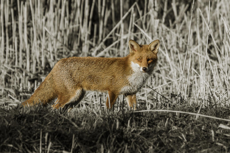 Fox - Vulpes Vulpes royalty free stock photo
