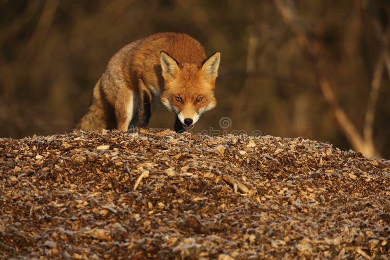 Fox & x28; Vulpes vulpes& x29; obrazy royalty free