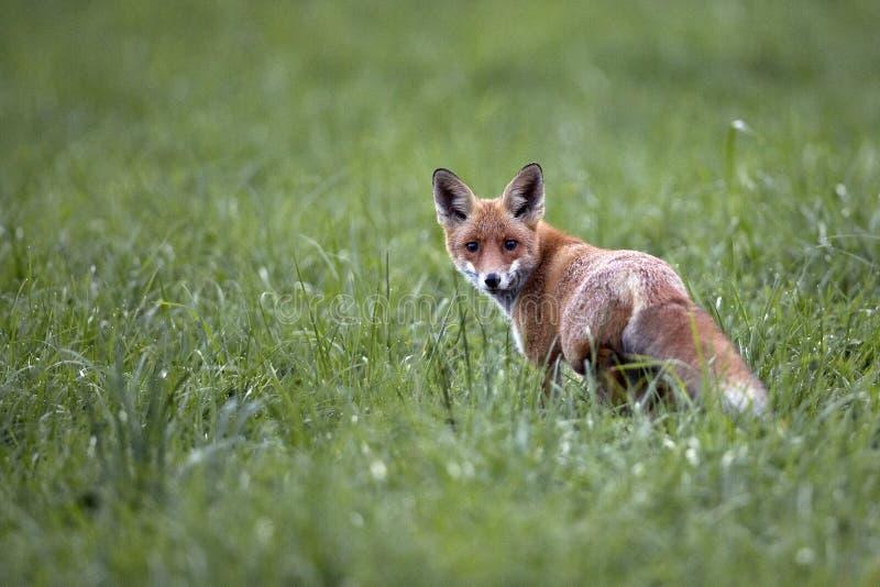 Fox w dzikim fotografia royalty free