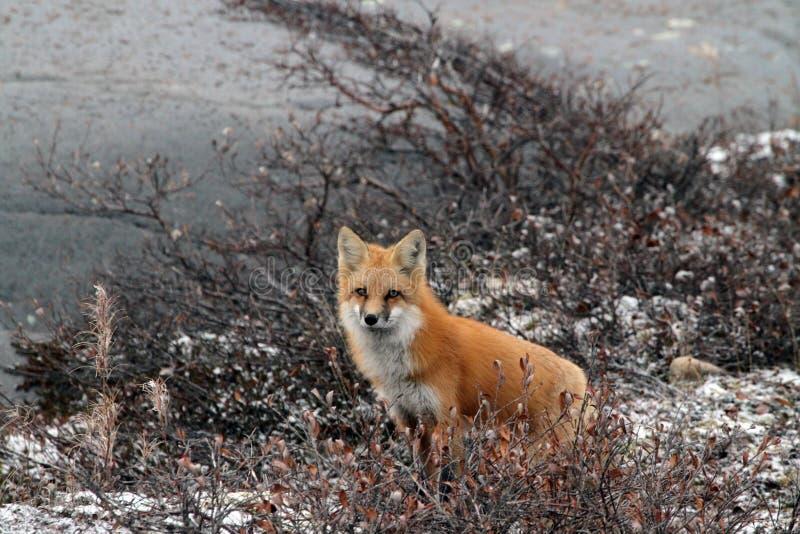 Fox w krzaku obrazy royalty free