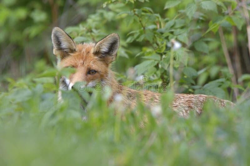 Fox w zielonym lasowym Ślicznym Czerwonym Fox, Vulpes vulpes zdjęcie stock