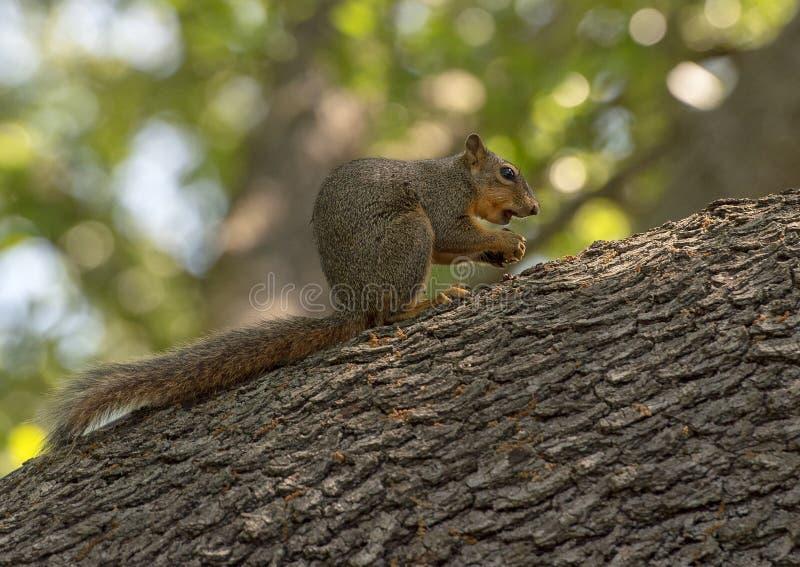 Fox wiewiórka je dokrętki umieszczał na wielkiej gałąź, Dallas arboretum zdjęcie stock