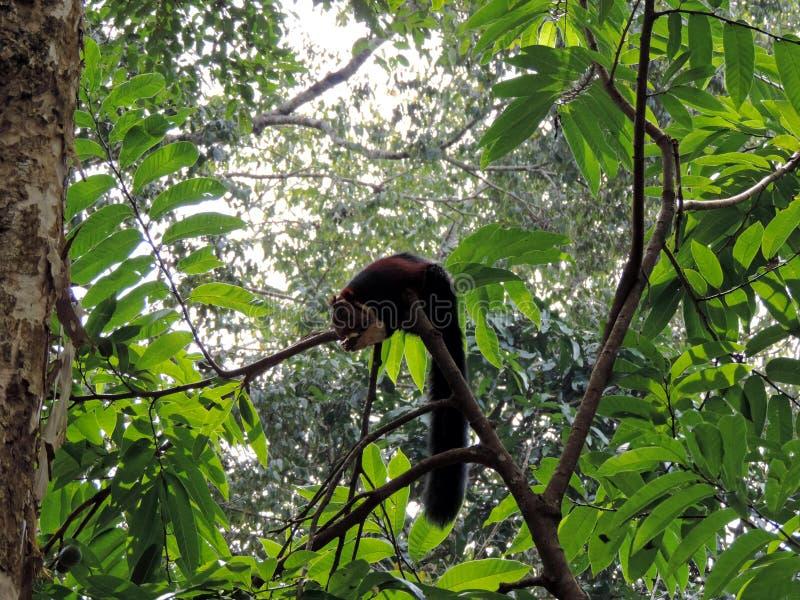 Fox wiewiórki łasowania owoc na gałąź obrazy royalty free