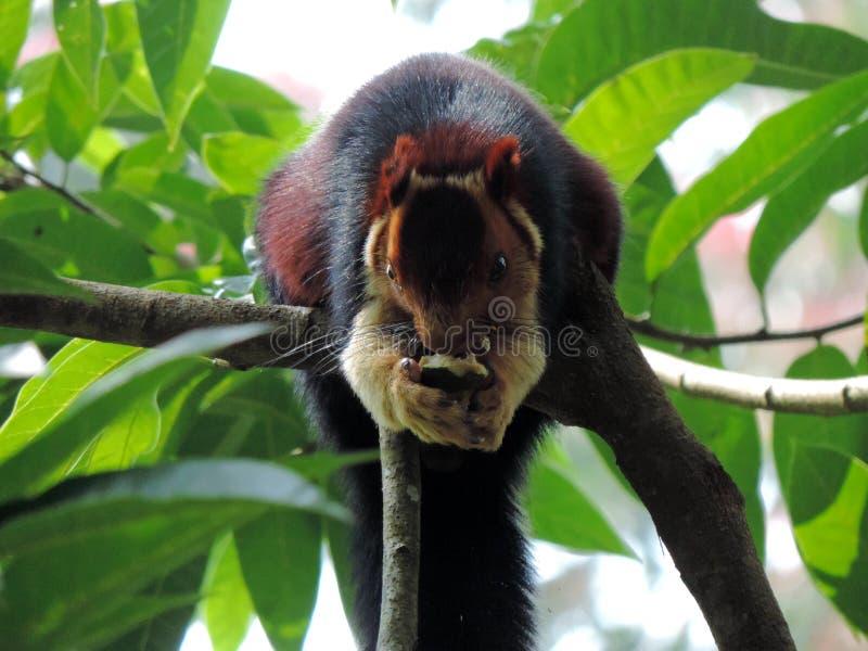 Fox wiewiórki łasowania owoc na gałąź zdjęcie stock