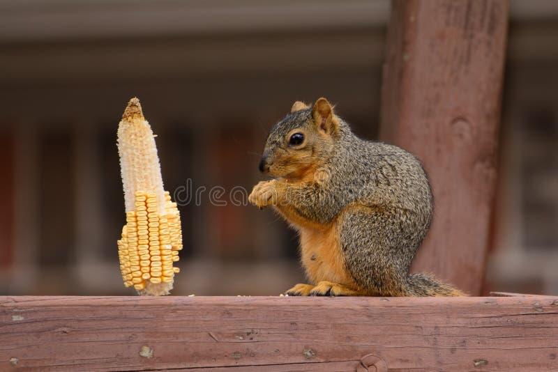 Fox wiewiórki Sciurus Niger karmienie na kukurydzanym kernal zdjęcie stock