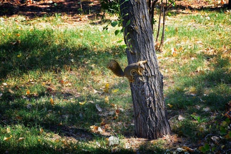 Fox wiewiórki Sciurus Niger wzdłuż jordanu śladu w Salt Lake City, Utah, także znać jako wschodniego lisa Bryan lub wiewiórka obrazy stock