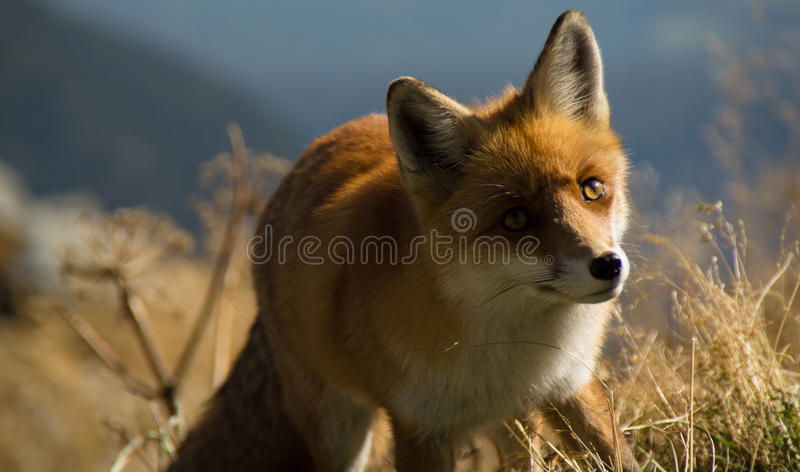 Fox stock image