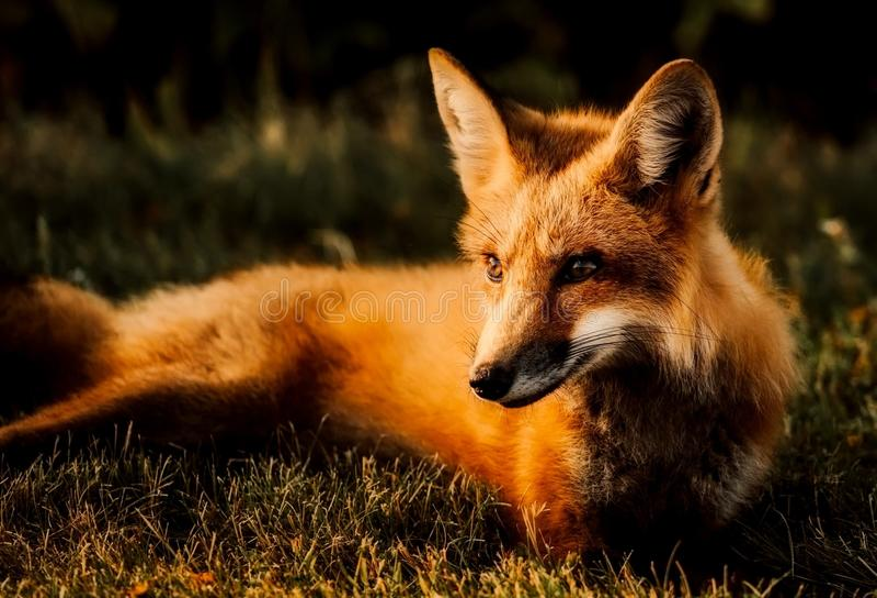 Fox, Wildlife, Red Fox, Fauna Free Public Domain Cc0 Image