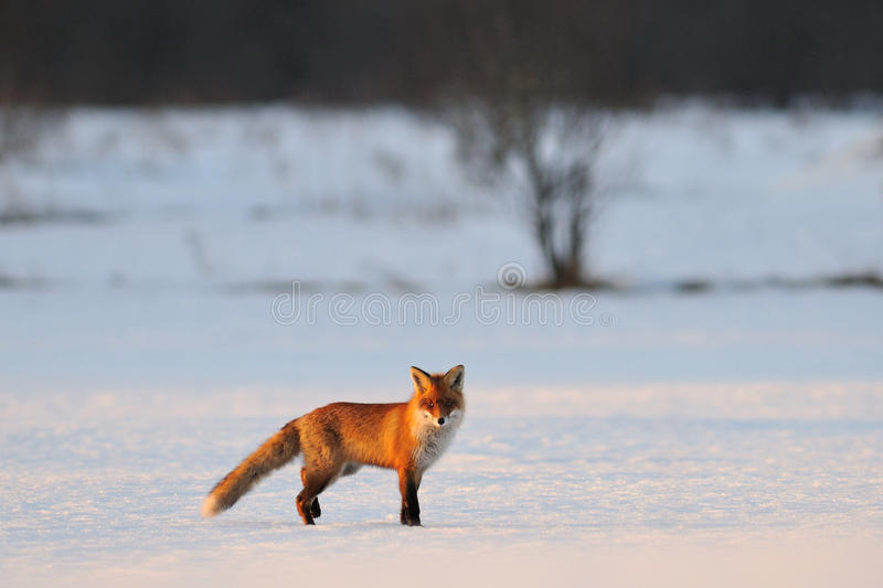 Fox in the winter. Red Fox in the winter evening stock images