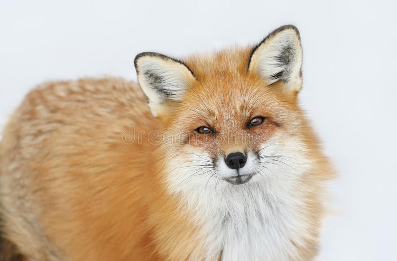 Fox during winter. Red fox in nature during winter royalty free stock photos