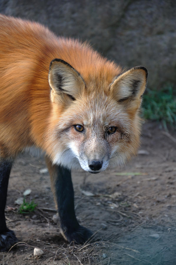 Download Fox in the woods stock photo. Image of outdoor, looking - 12154682