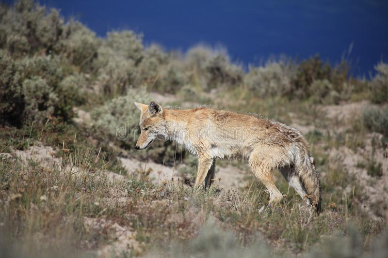 A Coyote is walking through brushwood stock photos