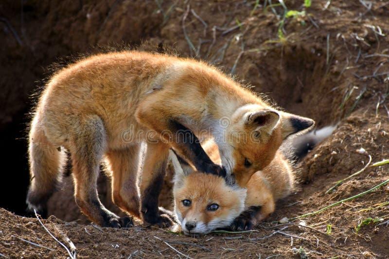 Fox zwei, der mit Löchern spielt lizenzfreies stockbild