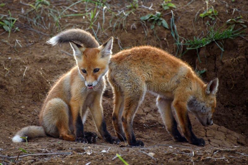 Fox zwei, der mit Löchern spielt lizenzfreie stockfotografie
