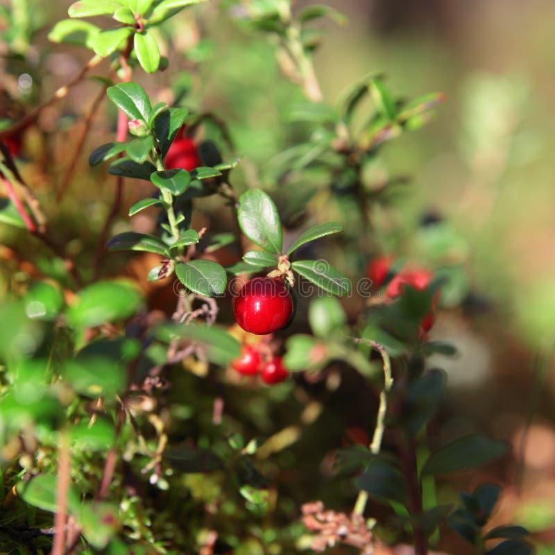 Foxberry stock foto