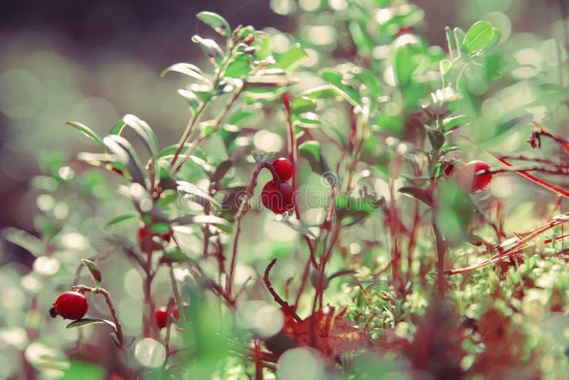 Foxberry royaltyfria bilder