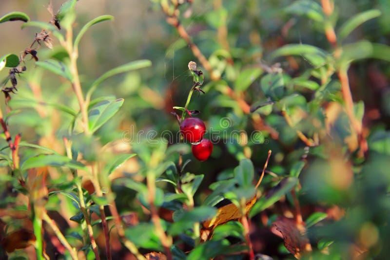 Foxberry royalty-vrije stock foto