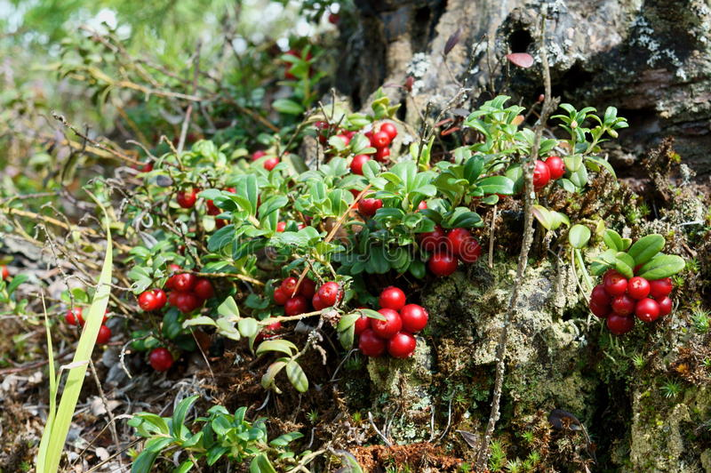 Foxberry fotos de stock