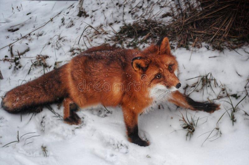 Foxcoon photo stock