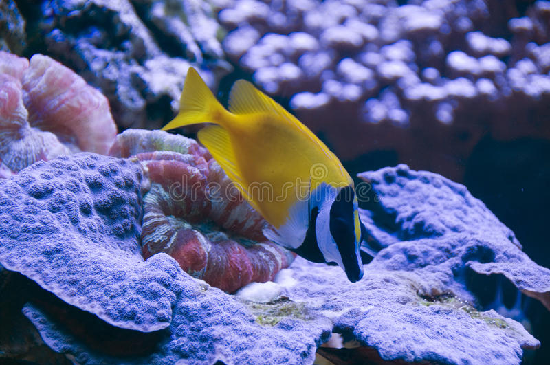 Download Foxface rabbitfish stock image. Image of foxface, coral - 12056329