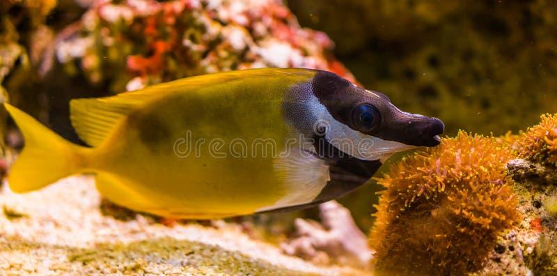 Foxface rabbitfish w zbliżeniu, piękny portret tropikalna ryba od oceanu spokojnego, popularny zwierzę domowe w aquaculture obrazy stock