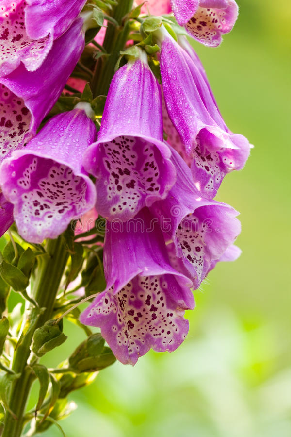 Foxglove foto de stock royalty free