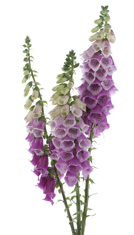 Free Foxglove Royalty Free Stock Photography - 20091967
