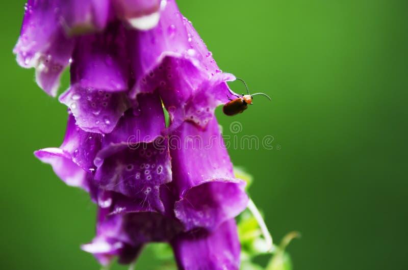 foxglove fotografia de stock