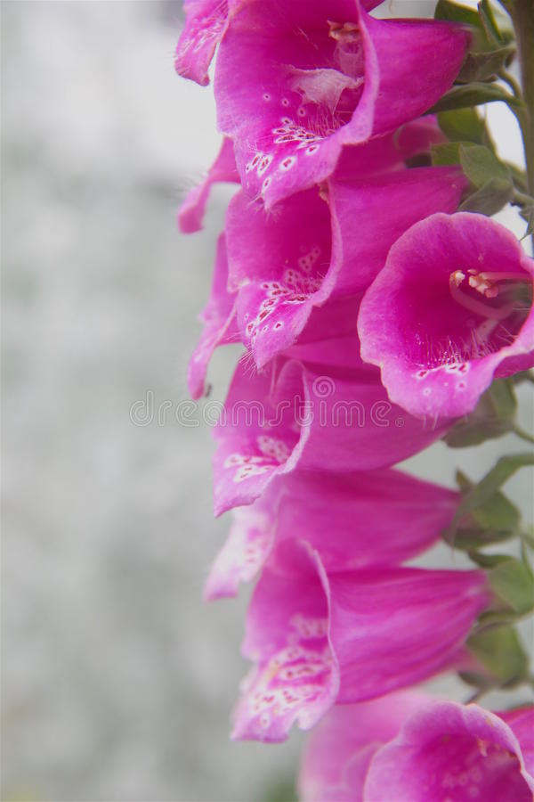 foxglove fotografia stock