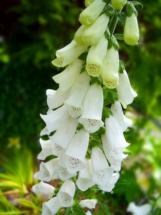 Foxglove bianco fotografia stock libera da diritti