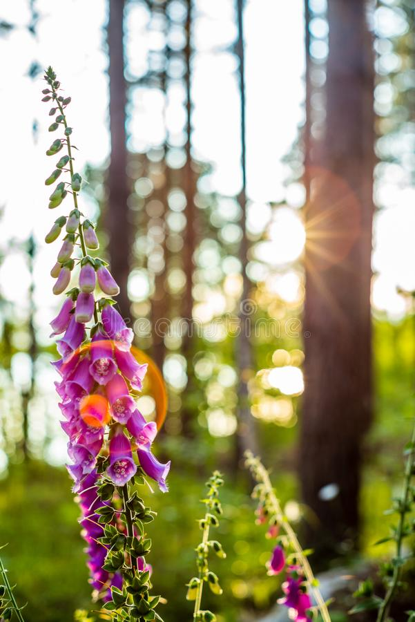 Foxglove blüht Digitalis Purpurea und Len Fackel bei Sonnenuntergang in Finnland - 2 stockfoto