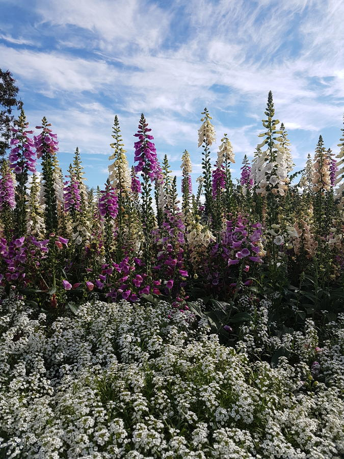 Foxglove blue sky alaska stock image