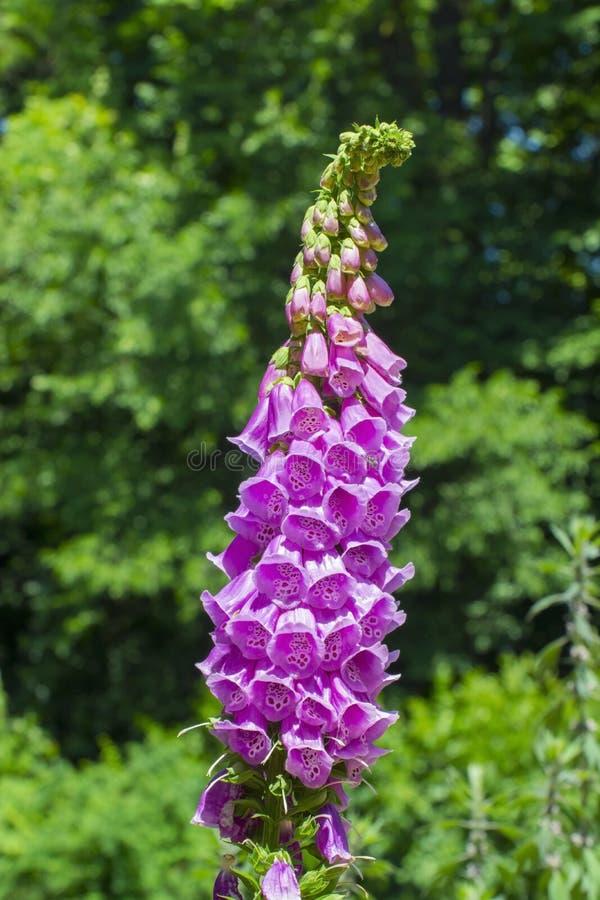 Foxglove (digital Purpurea) fotos de archivo