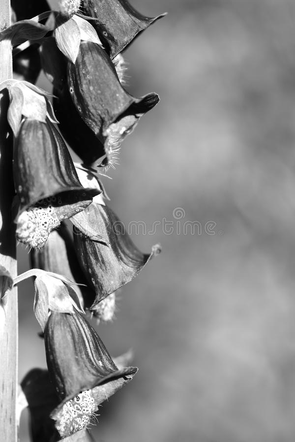 Foxglove (digital Purpurea) imagenes de archivo