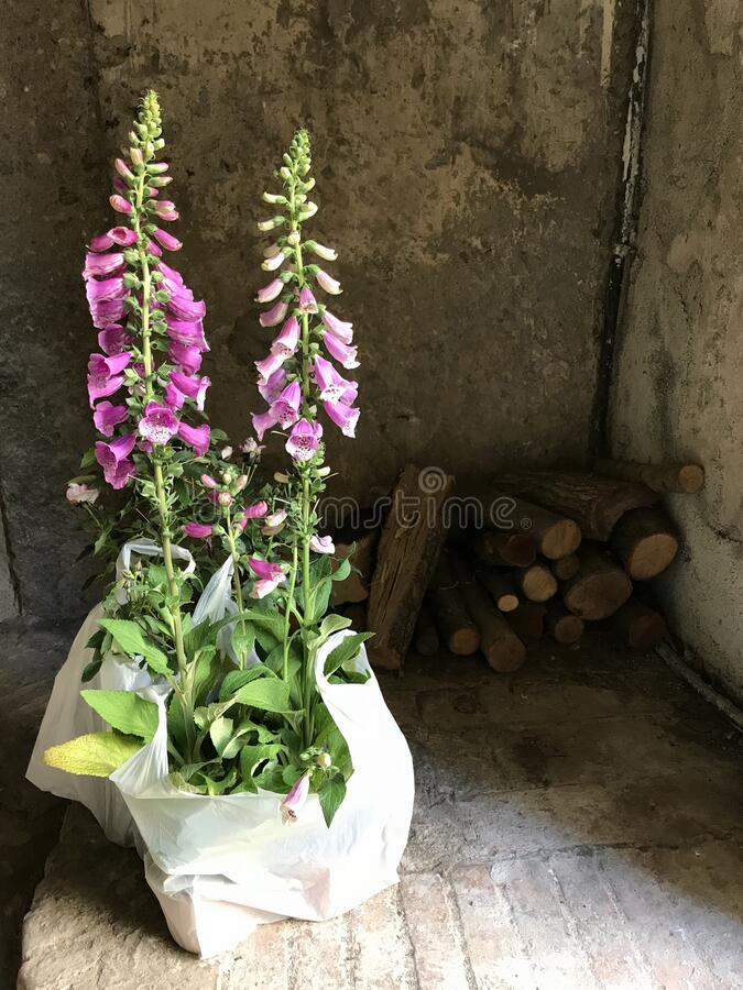 Foxglove Digitalis Purpurea royalty free stock image