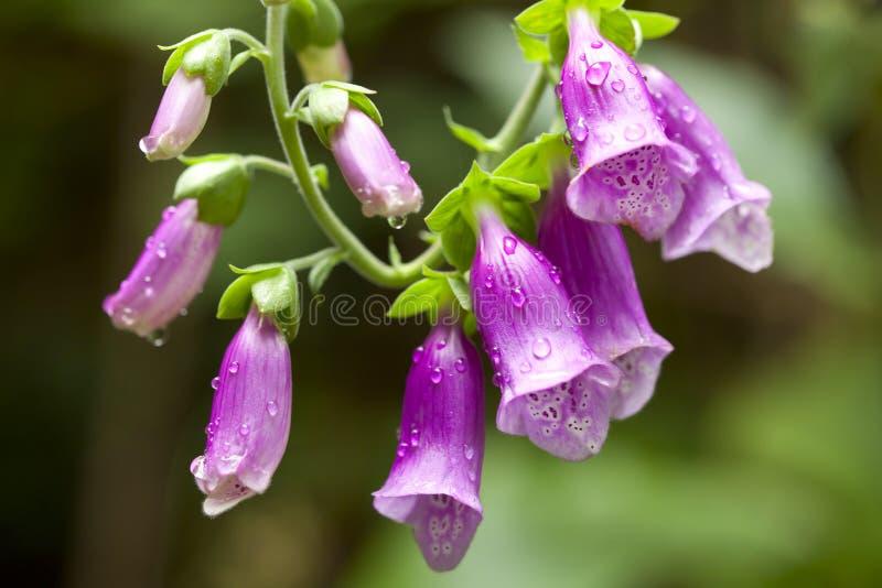 Foxglove e gocce di pioggia fotografia stock