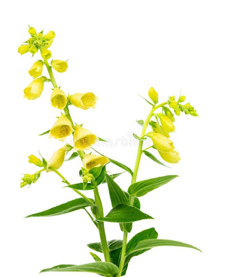 Foxglove giallo di fioritura immagini stock libere da diritti