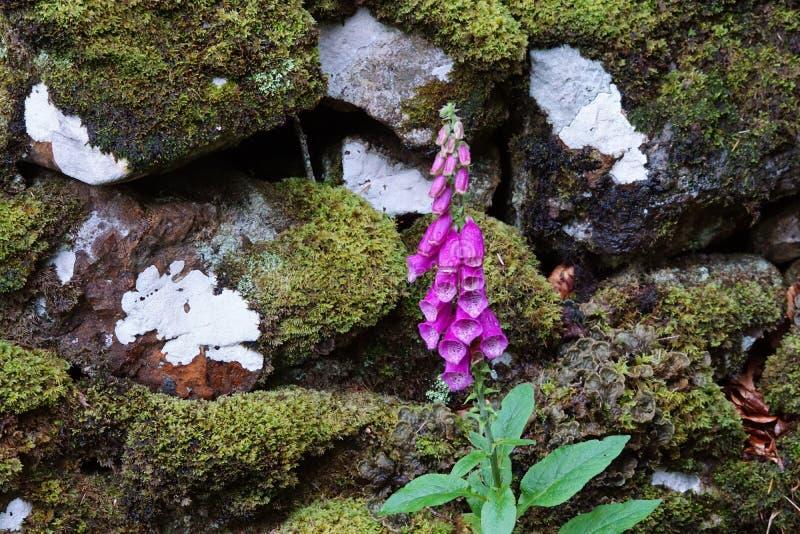 Foxglove growing between mossy rocks stock photo
