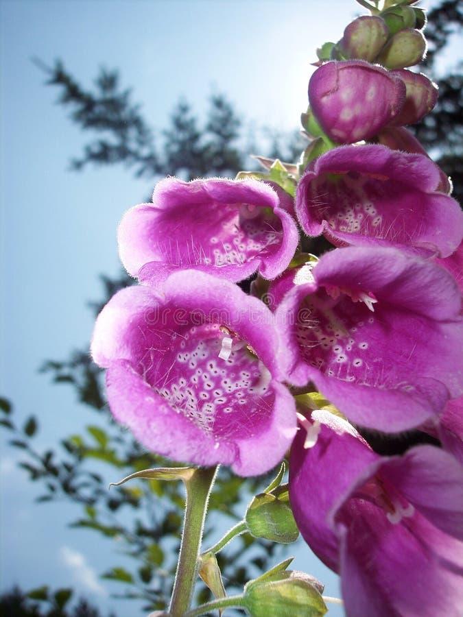 Foxglove (purpurea della digitale) immagine stock