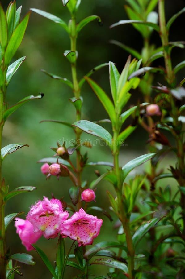 Foxglove rosado fotografía de archivo