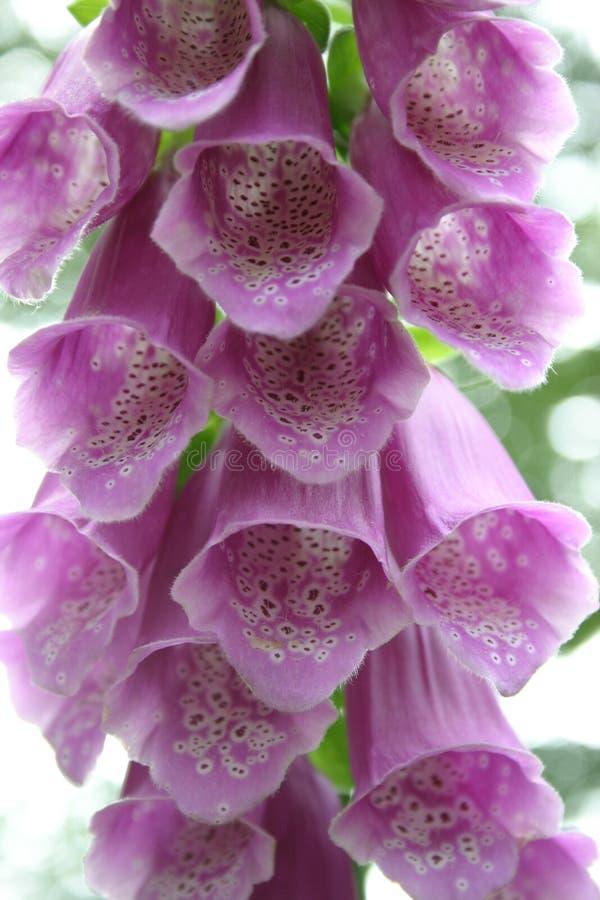 Download Foxglove roxo imagem de stock. Imagem de nave, flor, planta - 533389