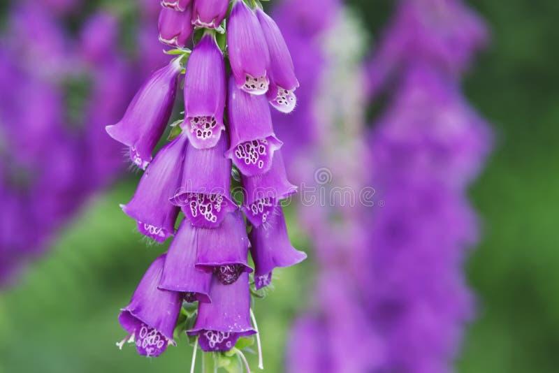 Foxglove viola fotografie stock